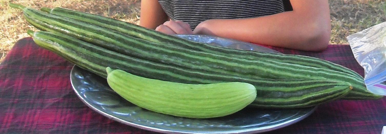 Le melon serpent ou concombre arménien